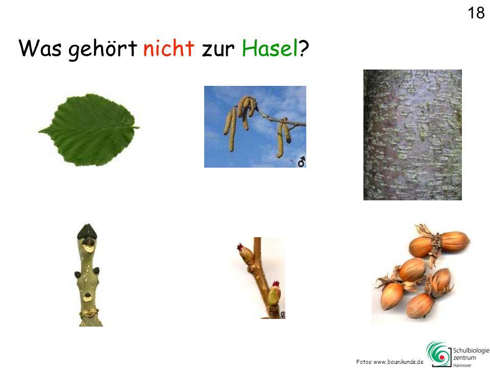 Was gehört nicht zur Hasel? Fotos: www.baumkunde.de 18