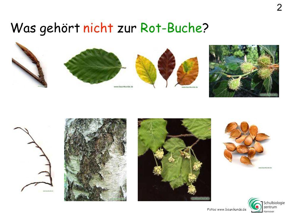 Was gehört nicht zur Rot-Buche? Fotos: www.baumkunde.de 2