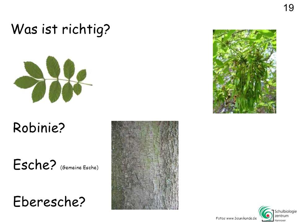 Was ist richtig? Fotos: www.baumkunde.de Robinie? Eberesche? Esche? (Gemeine Esche) 19