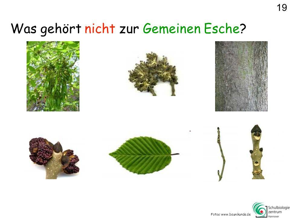 Was gehört nicht zur Gemeinen Esche? Fotos: www.baumkunde.de 19
