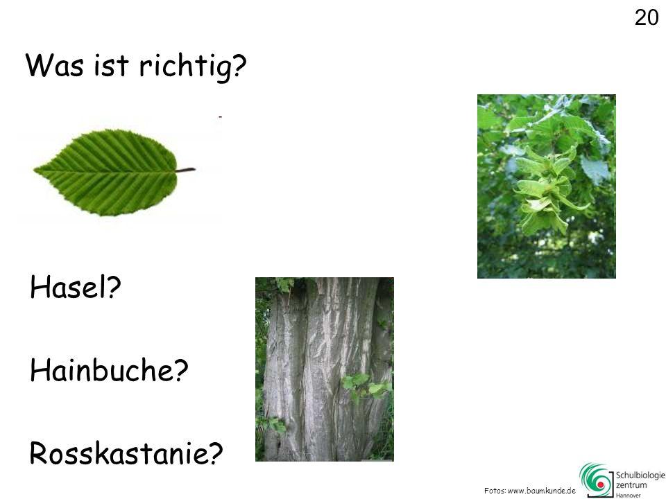 Was ist richtig? Fotos: www.baumkunde.de Hasel? Rosskastanie? Hainbuche? 20