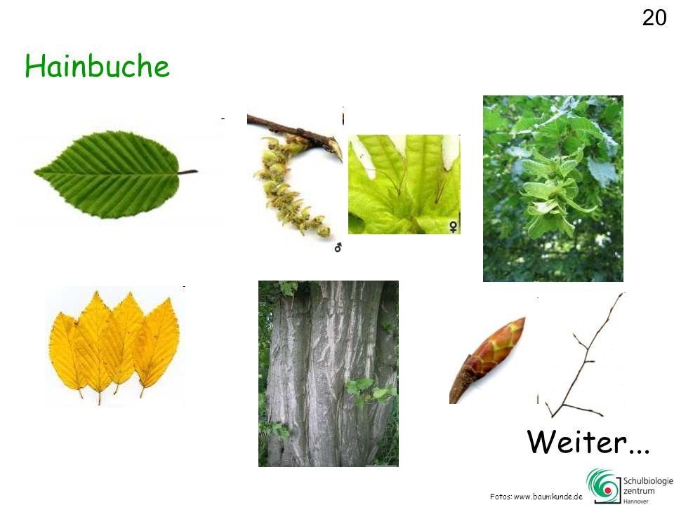 Hainbuche Fotos: www.baumkunde.de 20 Weiter...