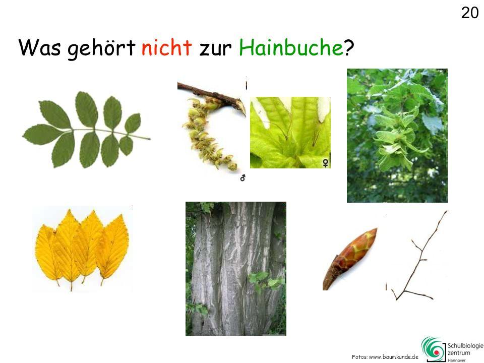 Fotos: www.baumkunde.de 20 Was gehört nicht zur Hainbuche?