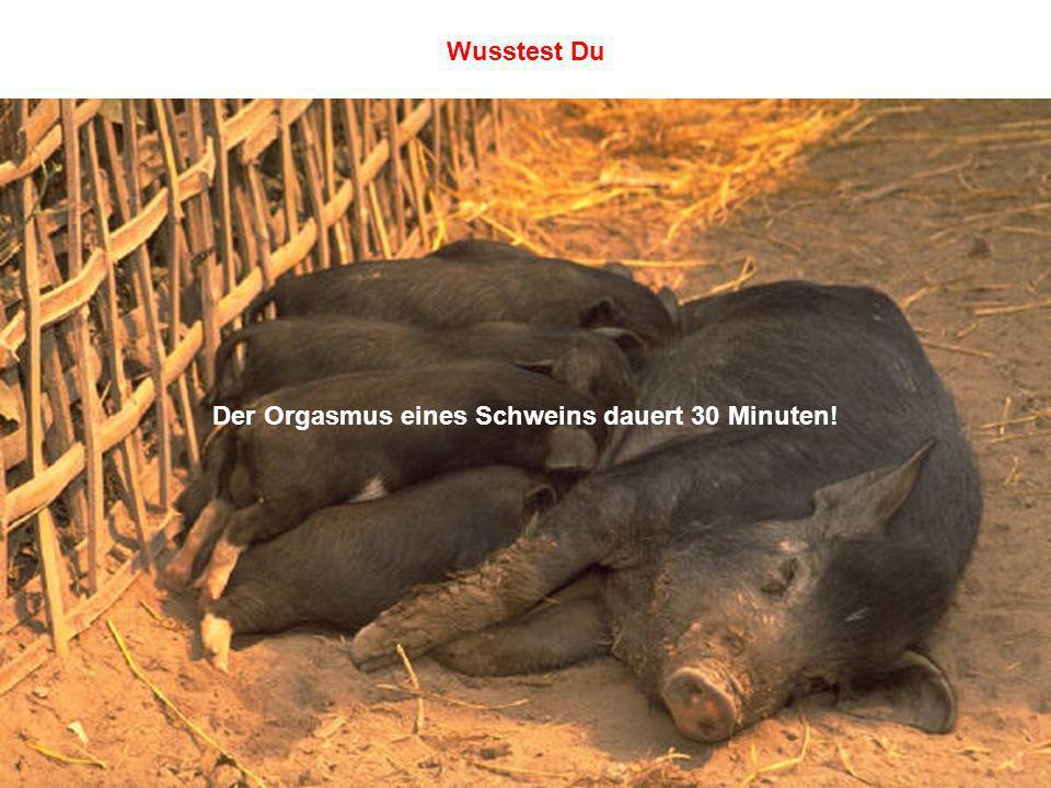 Der Orgasmus eines Schweins dauert 30 Minuten! Wusstest Du
