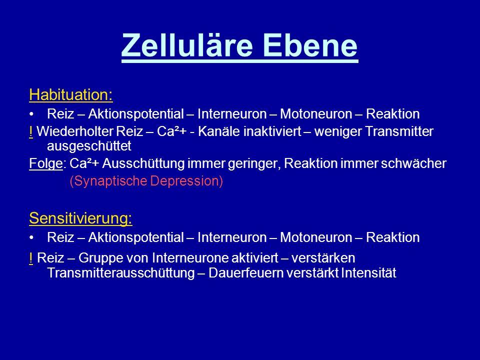 Zelluläre Ebene Habituation: Reiz – Aktionspotential – Interneuron – Motoneuron – Reaktion ! Wiederholter Reiz – Ca²+ - Kanäle inaktiviert – weniger T