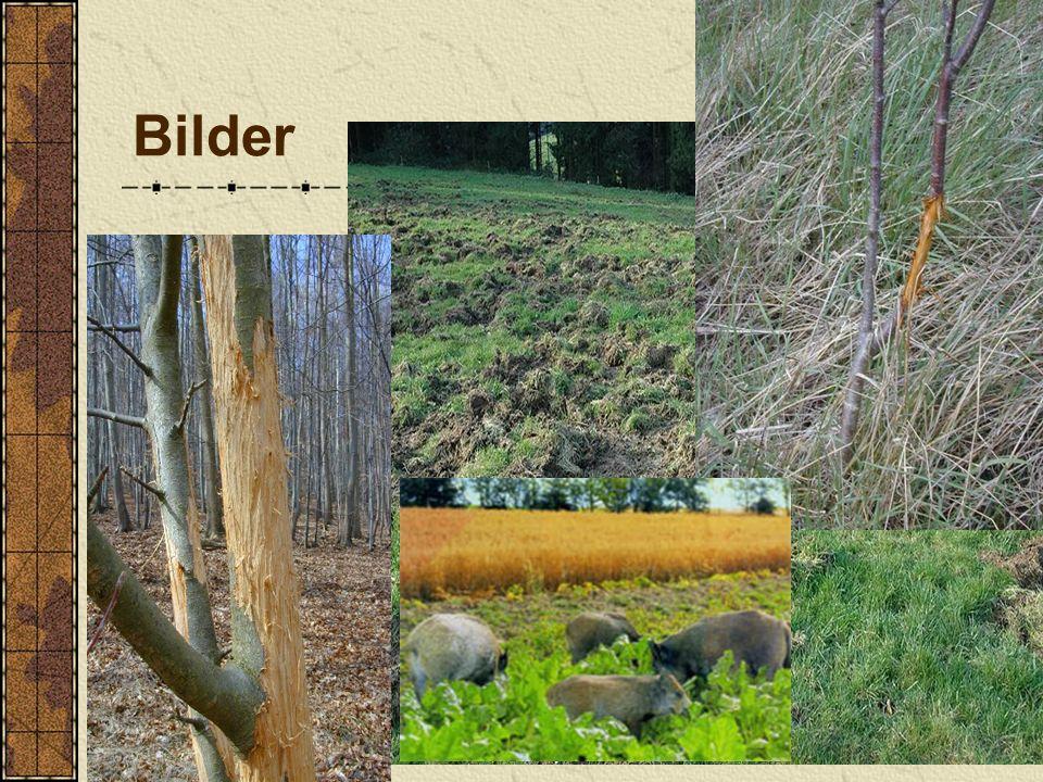 Folgen: -Schaden an Bäumen (bis zum Absterben des Baumes möglich) -Entwicklung von einem Mischwald zu einem artenarmen Reinbestand, da schmackhafte Tr