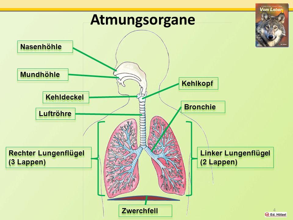 Atmungsorgane 4 Nasenhöhle Mundhöhle Kehlkopf Kehldeckel Luftröhre Bronchie Linker Lungenflügel (2 Lappen) Rechter Lungenflügel (3 Lappen) Zwerchfell