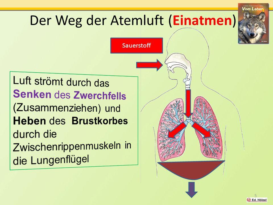 Der Weg der Atemluft (Einatmen) Sauerstoff 5