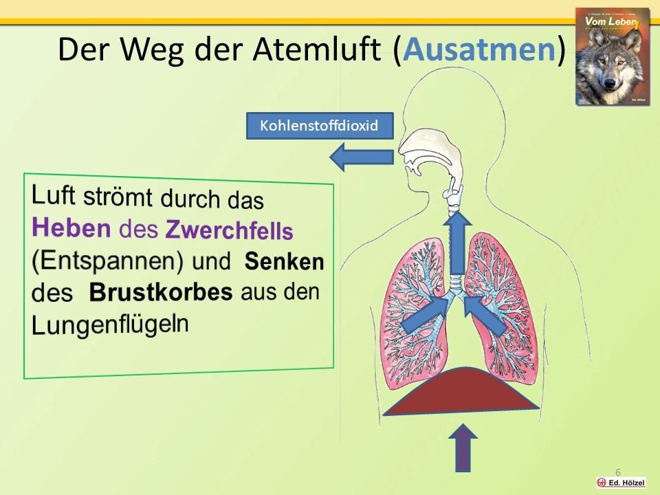 Gasaustausch in den Lungenbläschen Vom Leben 1 / Atmung / Huber 2012 Atemluft (in der Bracheole) Sauerstoff- reiches Blut Kohlenstoff- dioxidreiches Blut Sauerstoff Kohlenstoff- dioxid Haargefäße Lungenbläschen 7 Aus der Atemluft wird Sauerstoff ins Blut abgegeben und Kohlenstoffdioxid vom Blut in die Atemluft abgegeben