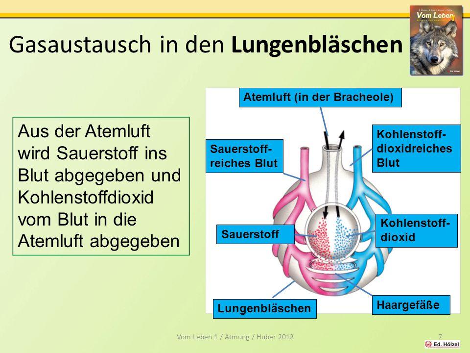 Gasaustausch in den Lungenbläschen Atemluft (in der Bracheole)Kohlenstoff- dioxidreiches Blut Sauerstoff- reiches Blut 8 Lungenbläschen Haargefäße Kohlenstoff -dioxid Sauerstoff Aus der Atemluft wird Sauerstoff ins Blut abgegeben und Kohlenstoffdioxid vom Blut in die Atemluft abgegeben