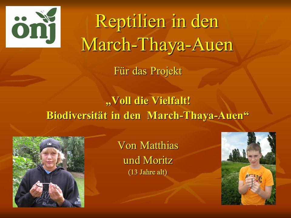 Reptilien in den March-Thaya-Auen Für das Projekt Voll die Vielfalt! Biodiversität in den March-Thaya-Auen Von Matthias und Moritz (13 Jahre alt)