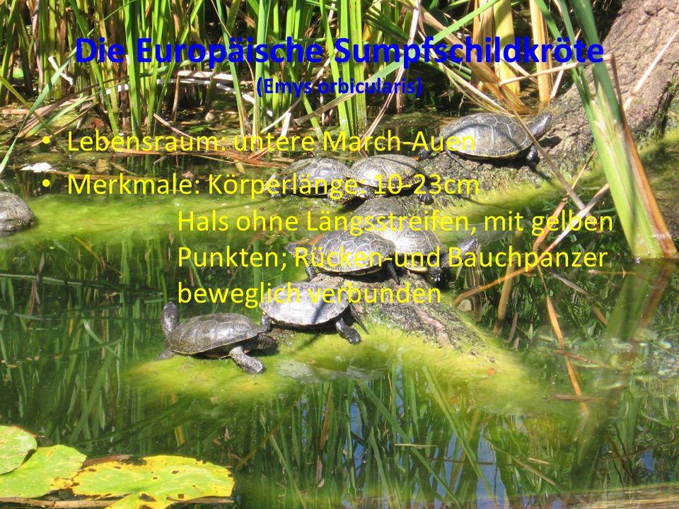 Die Europäische Sumpfschildkröte (Emys orbicularis) Lebensraum: untere March-Auen Merkmale: Körperlänge: 10-23cm Hals ohne Längsstreifen, mit gelben P