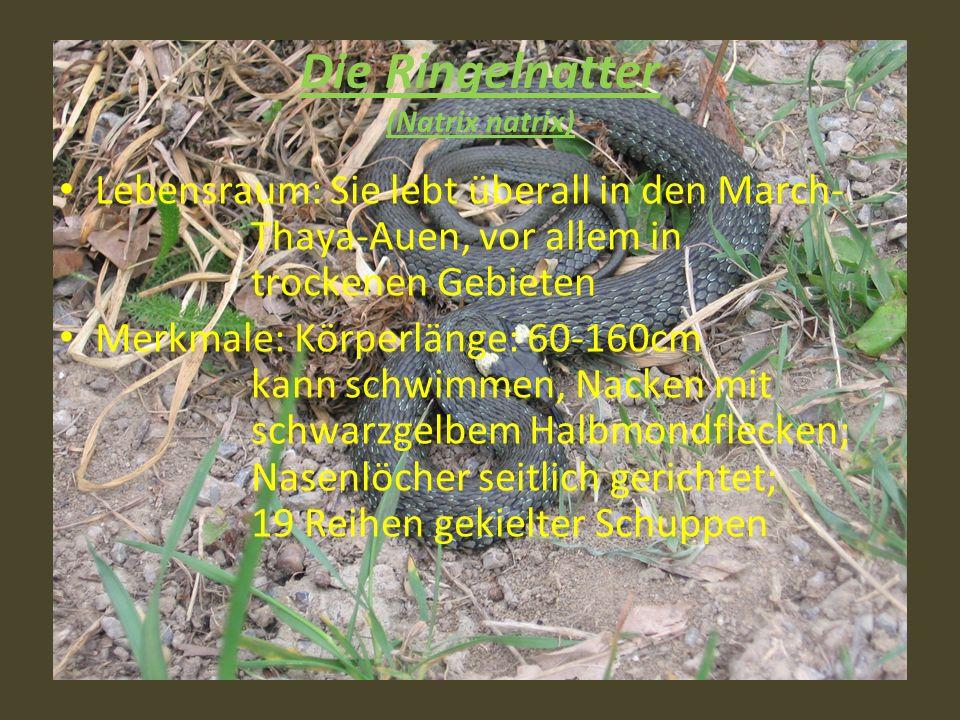 Die Ringelnatter (Natrix natrix) Lebensraum: Sie lebt überall in den March- Thaya-Auen, vor allem in trockenen Gebieten Merkmale: Körperlänge: 60-160c