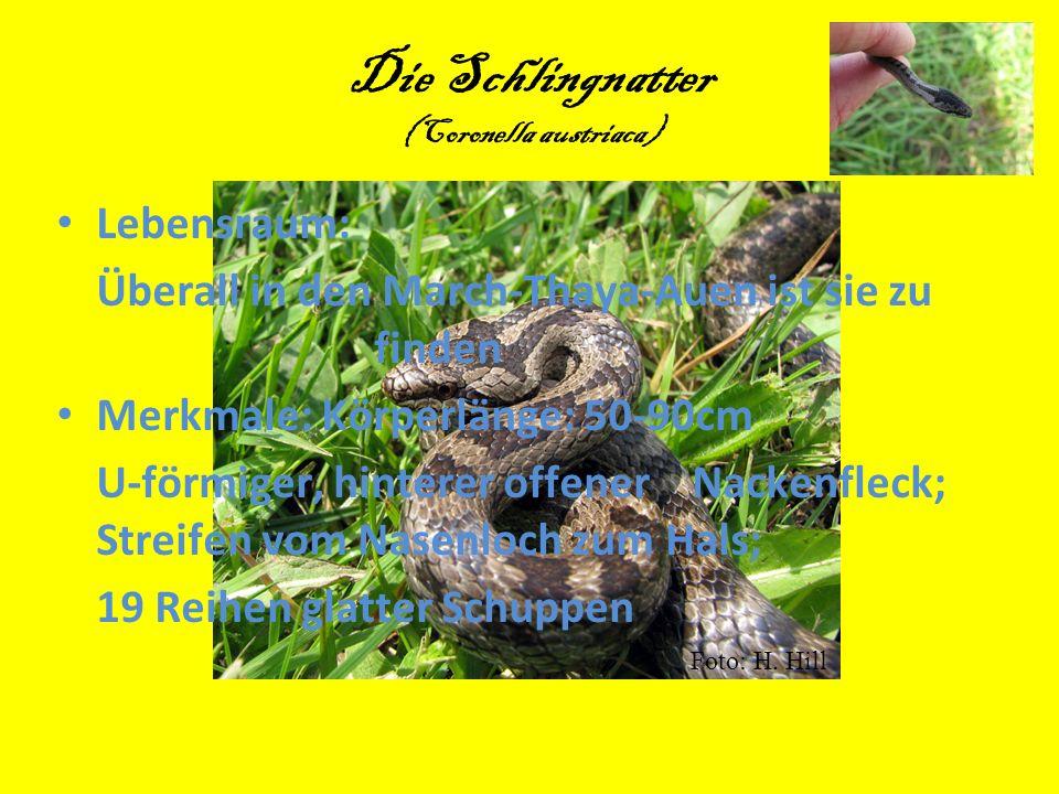 Die Schlingnatter (Coronella austriaca) Lebensraum: Überall in den March-Thaya-Auen ist sie zu finden Merkmale: Körperlänge: 50-90cm U-förmiger, hinte