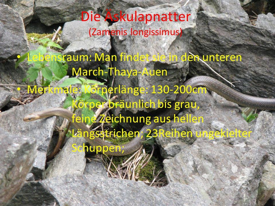 Die Äskulapnatter (Zamenis longissimus) Lebensraum: Man findet sie in den unteren March-Thaya-Auen Merkmale: Körperlänge: 130-200cm Körper bräunlich b