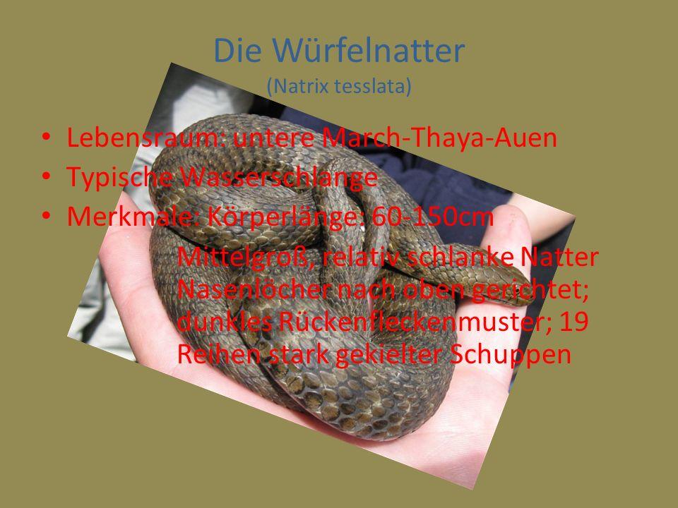 Die Würfelnatter (Natrix tesslata) Lebensraum: untere March-Thaya-Auen Typische Wasserschlange Merkmale: Körperlänge: 60-150cm Mittelgroß, relativ sch