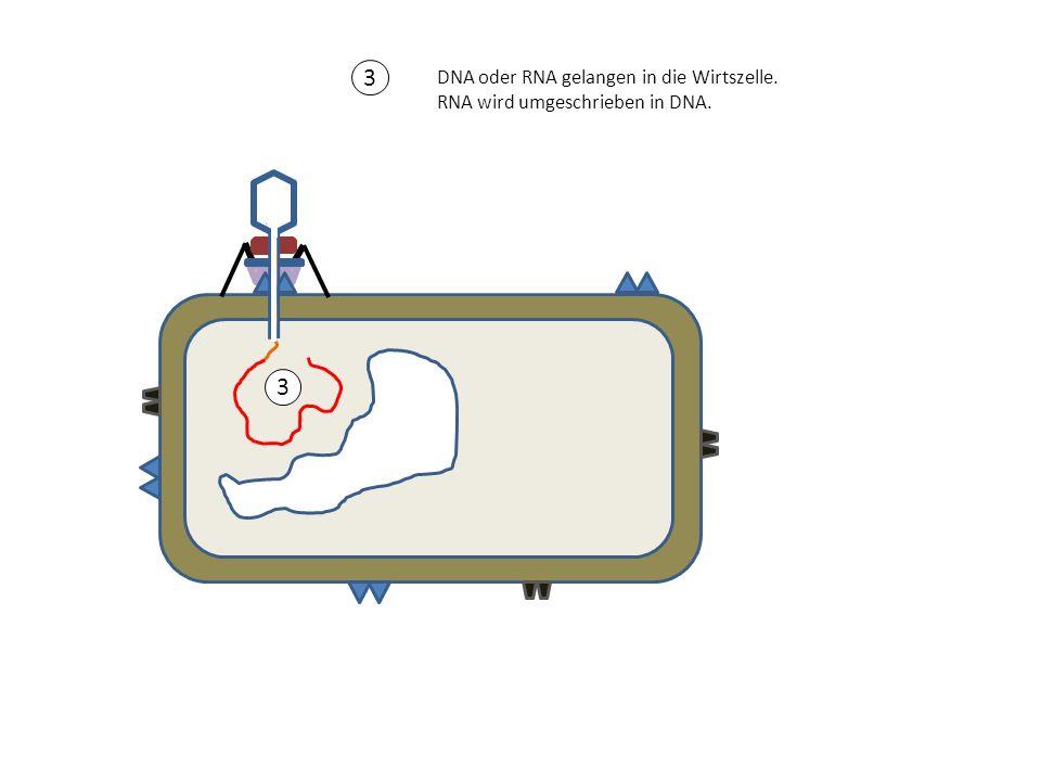 3 DNA oder RNA gelangen in die Wirtszelle. RNA wird umgeschrieben in DNA. 3