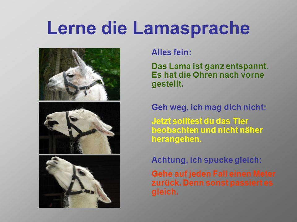 Lamas spucken Viele Kinder haben Angst vor Lamas, weil sie schreckliche Geschichten über ihr Spucken gehört haben. Keine Angst: Lamas spucken zwar mit