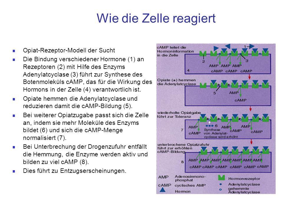 Wie die Zelle reagiert Opiat-Rezeptor-Modell der Sucht Die Bindung verschiedener Hormone (1) an Rezeptoren (2) mit Hilfe des Enzyms Adenylatcyclase (3