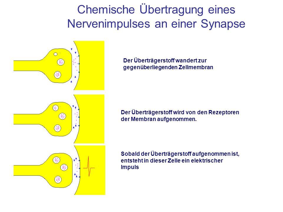 Chemische Übertragung eines Nervenimpulses an einer Synapse Der Überträgerstoff wandert zur gegenüberliegenden Zellmembran Der Überträgerstoff wird vo