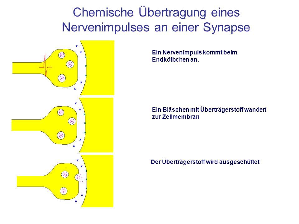 Chemische Übertragung eines Nervenimpulses an einer Synapse Ein Nervenimpuls kommt beim Endkölbchen an. Ein Bläschen mit Überträgerstoff wandert zur Z