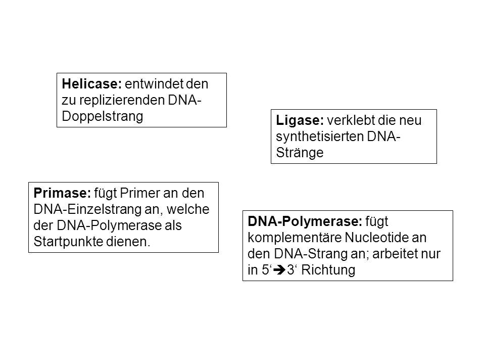 DNA-Polymerase: fügt komplementäre Nucleotide an den DNA-Strang an; arbeitet nur in 5 3 Richtung Helicase: entwindet den zu replizierenden DNA- Doppel