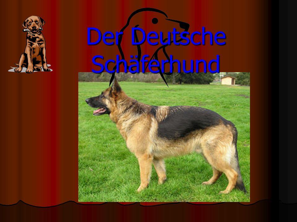 Beschreibung Der Deutsche Schäferhund erinnert an einen Wolf und er ist stark bemuskelt.