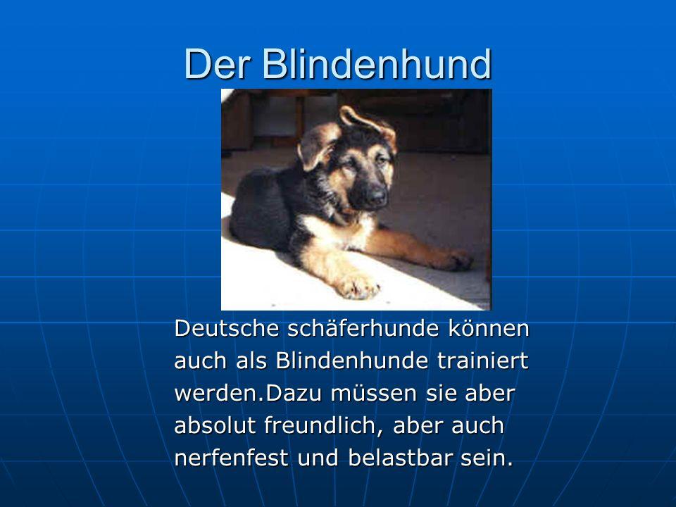 Der Blindenhund Deutsche schäferhunde können auch als Blindenhunde trainiert werden.Dazu müssen sie aber absolut freundlich, aber auch nerfenfest und belastbar sein.
