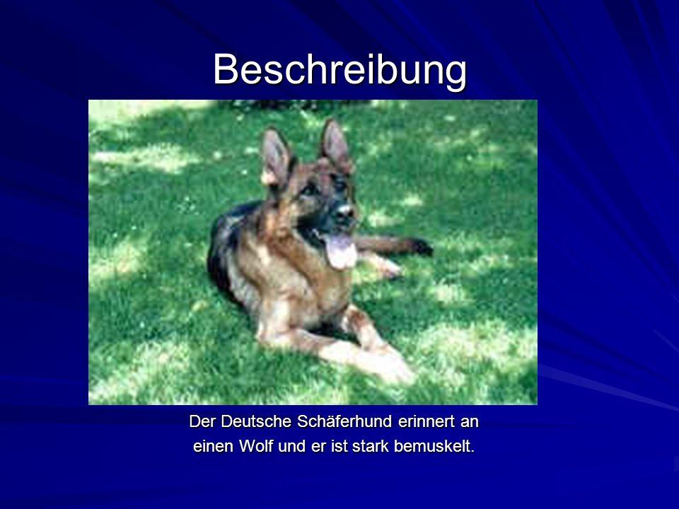 Sein Wesen DerDeutscheSchäfer- hund ist sehrintelligent.