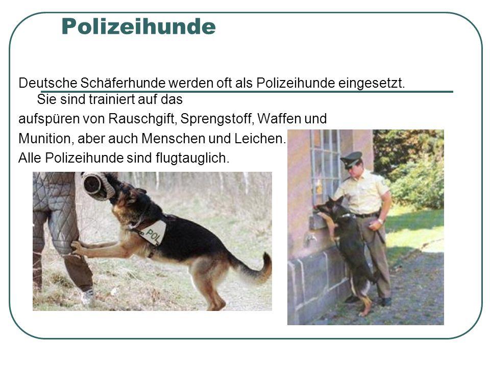 Polizeihunde Deutsche Schäferhunde werden oft als Polizeihunde eingesetzt.