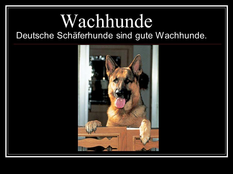 Wachhunde Deutsche Schäferhunde sind gute Wachhunde.