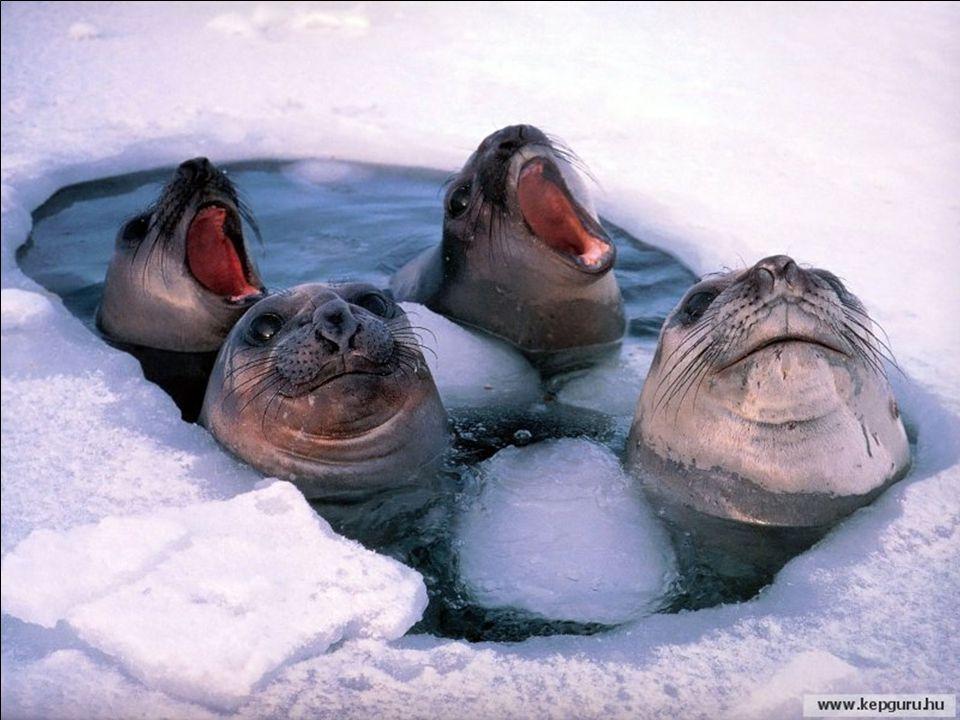Trotz des extrem rauhen Klimas, hat die Antarktis eine sehr umfangreiche Tierfauna hervorgebracht, die sich erstaunlicherweise diesen widrigen Verhält