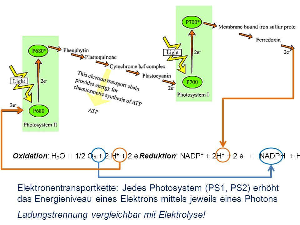 Elektronentransportkette: Jedes Photosystem (PS1, PS2) erhöht das Energieniveau eines Elektrons mittels jeweils eines Photons Ladungstrennung vergleic