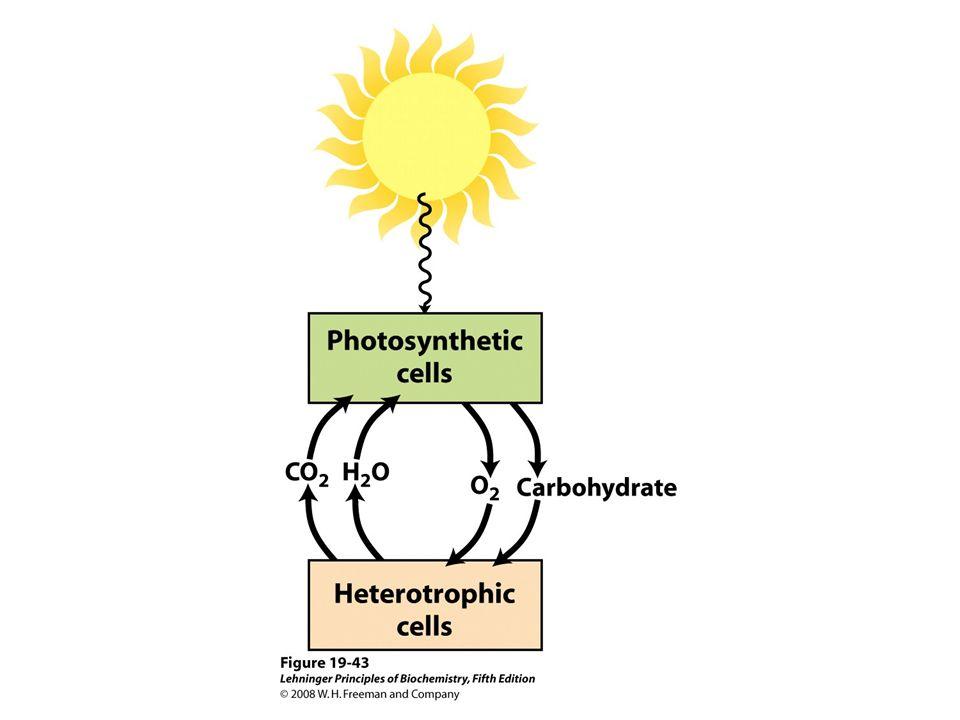 NameC 3 -RestC 7 -RestC 8 -RestC 17 -RestC 17-18 -BindungSummenformel Chlorophyll a-CH=CH 2 -CH 3 -CH 2 CH 3 -CH 2 CH 2 COO-Phytyl *)Phytyl EinfachbindungC 55 H 72 O 5 N 4 Mg Chlorophyll b-CH=CH 2 -CHO-CH 2 CH 3 -CH 2 CH 2 COO-PhytylEinfachbindungC 55 H 70 O 6 N 4 Mg Chlorophyll c 1 -CH=CH 2 -CH 3 -CH 2 CH 3 -CH=CHCOOHDoppelbindungC 35 H 30 O 5 N 4 Mg Chlorophyll c 2 -CH=CH 2 -CH 3 -CH=CH 2 -CH=CHCOOHDoppelbindungC 35 H 28 O 5 N 4 Mg Chlorophyll d-CHO-CH 3 -CH 2 CH 3 -CH 2 CH 2 COO-PhytylEinfachbindungC 54 H 70 O 6 N 4 Mg Chemische Struktur von oxygenen Phototrophen Phorphyrin-Gerüst Phorphyrin-Metallkation-Komplex *) Phytol ist ein Diterpen-Alkohol.