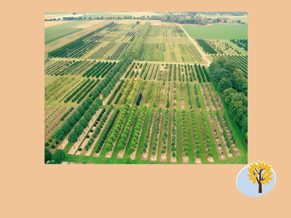 Artikel Quercus robur 50-60 Sol.-Baum 5xv mDB 2-3 x 7-9