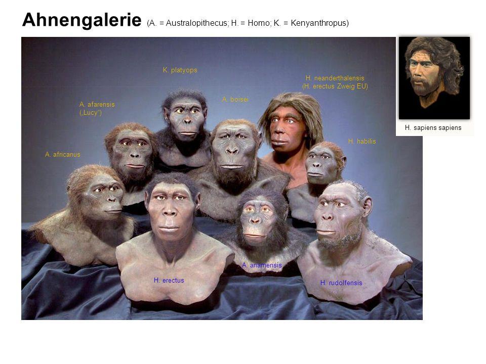 Ahnengalerie (A. = Australopithecus; H. = Homo; K. = Kenyanthropus) H. sapiens sapiens H. erectus H. rudolfensis H. neanderthalensis (H. erectus Zweig