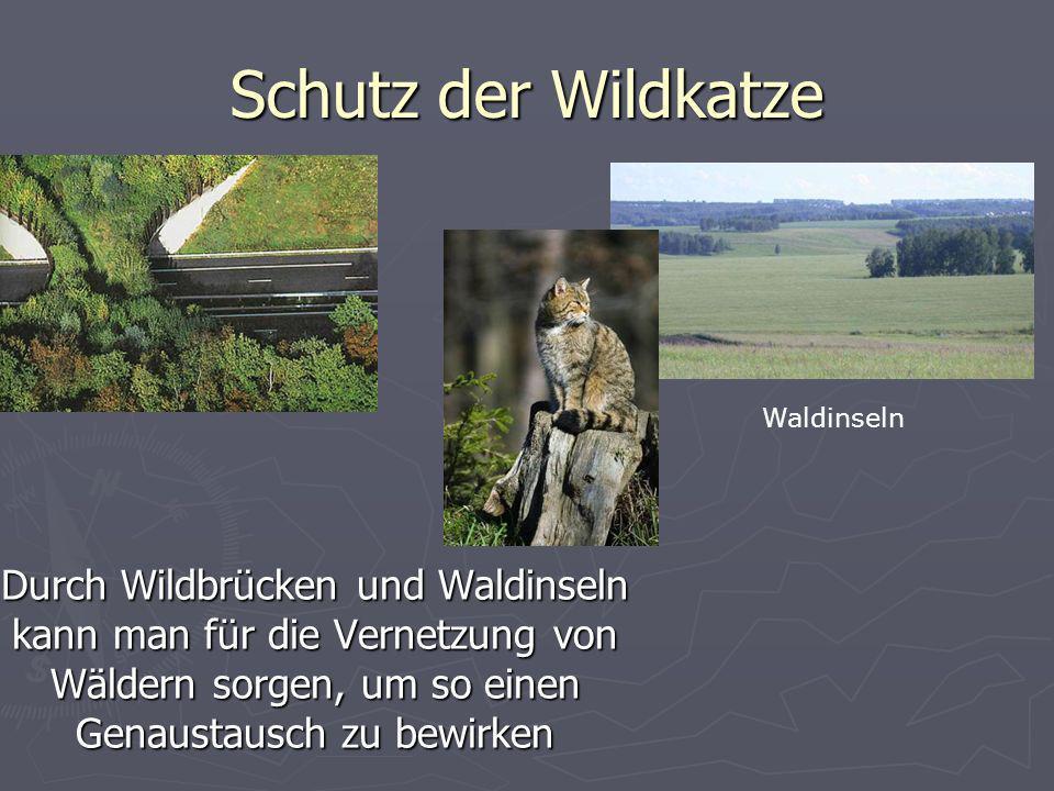 Schutz der Wildkatze Durch Wildbrücken und Waldinseln kann man für die Vernetzung von Wäldern sorgen, um so einen Genaustausch zu bewirken Waldinseln