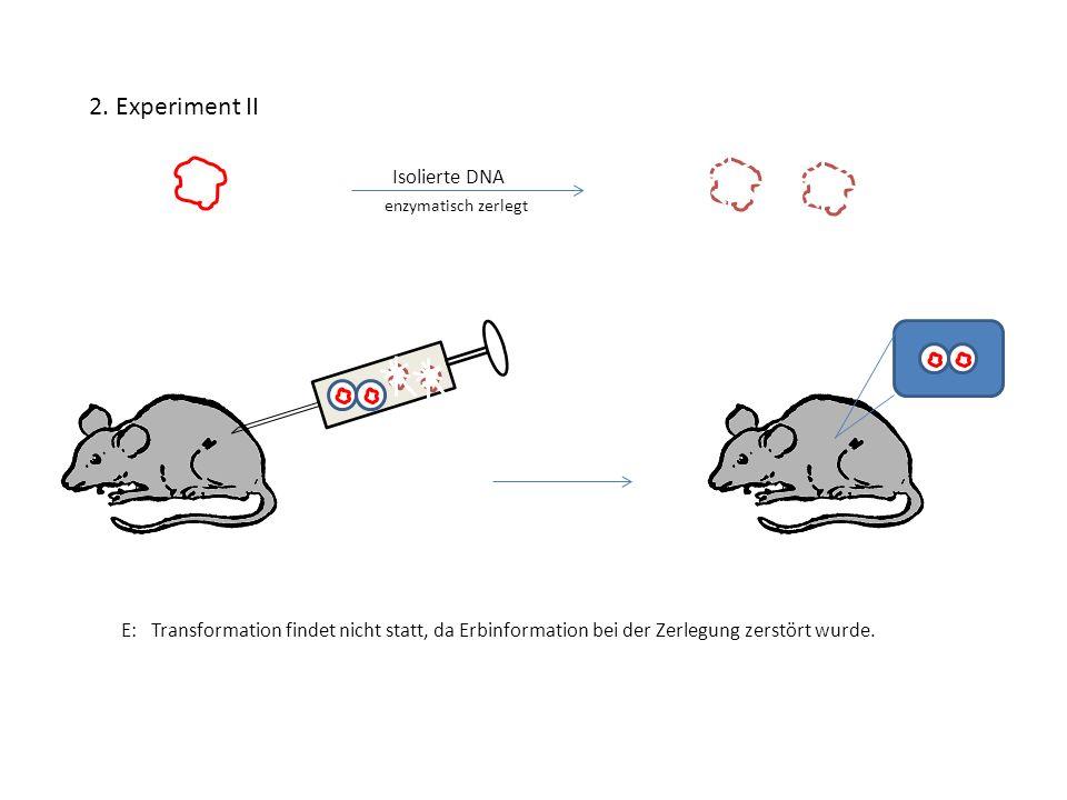 2. Experiment II E: Transformation findet nicht statt, da Erbinformation bei der Zerlegung zerstört wurde. enzymatisch zerlegt Isolierte DNA