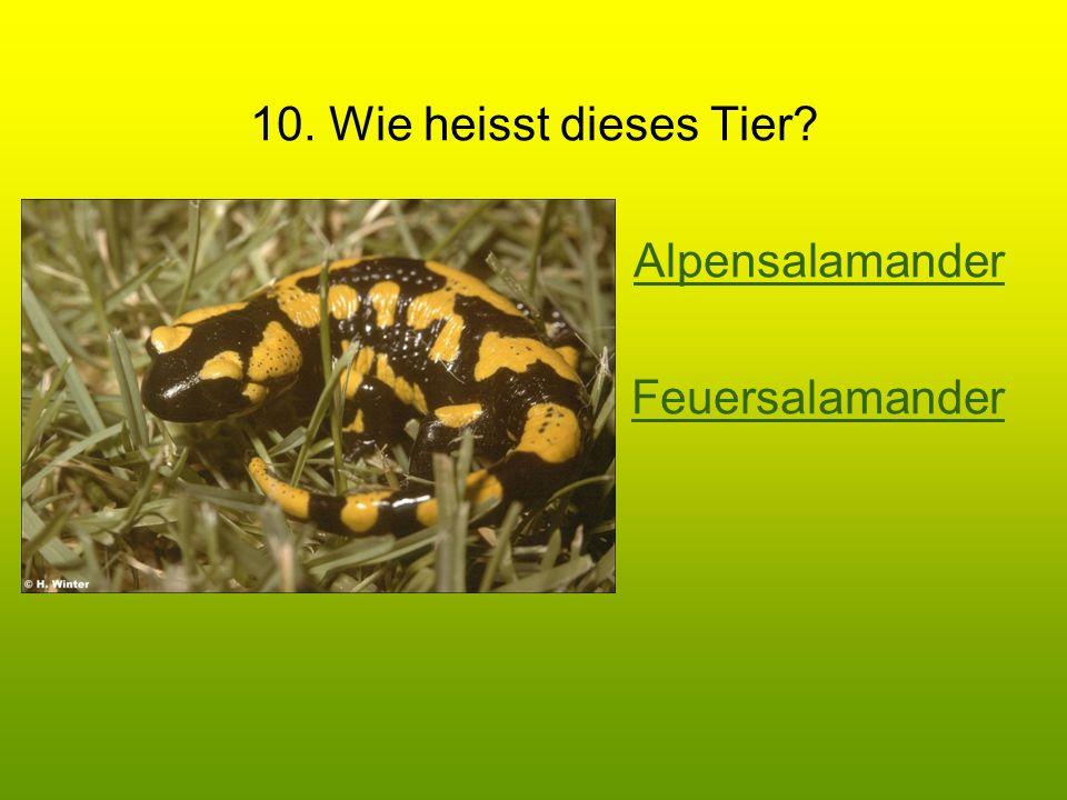 10. Wie heisst dieses Tier? Alpensalamander Feuersalamander