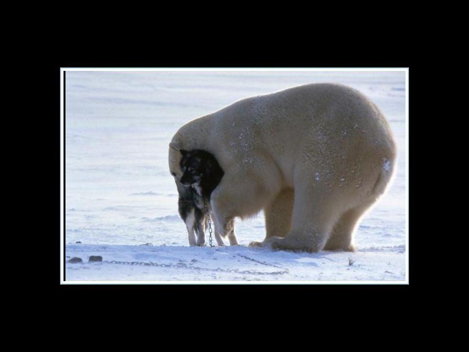 Wie gut; dieser Bär war nicht hungrig….