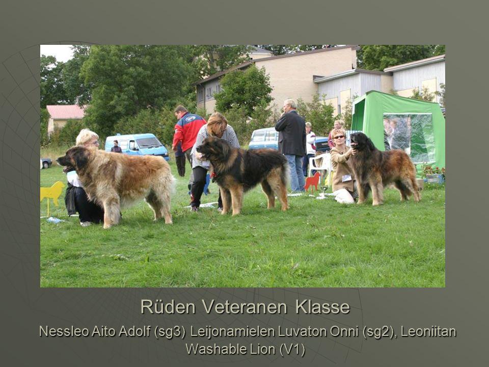 Rüden Veteranen Klasse Nessleo Aito Adolf (sg3) Leijonamielen Luvaton Onni (sg2), Leoniitan Washable Lion (V1)