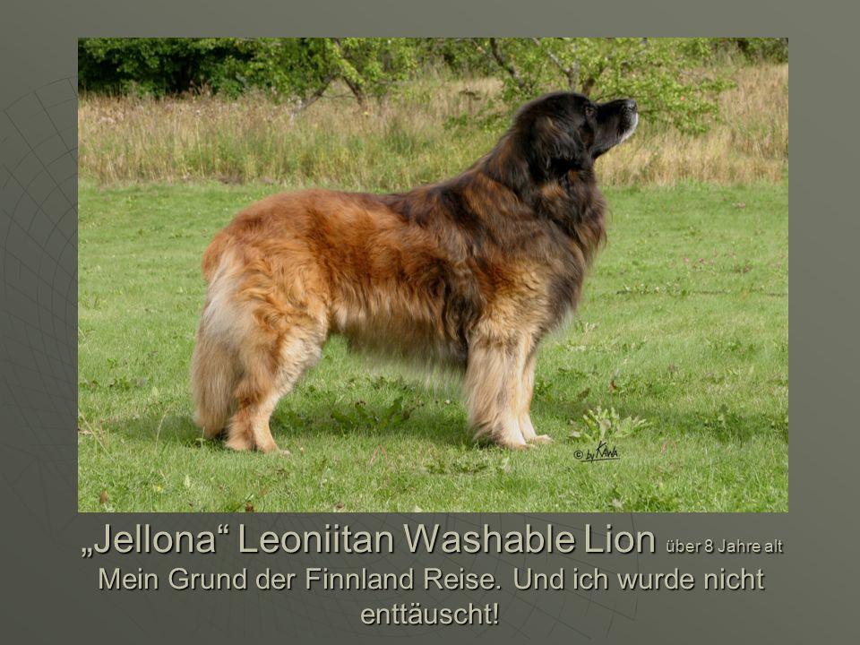Jellona Leoniitan Washable Lion über 8 Jahre alt Mein Grund der Finnland Reise. Und ich wurde nicht enttäuscht!