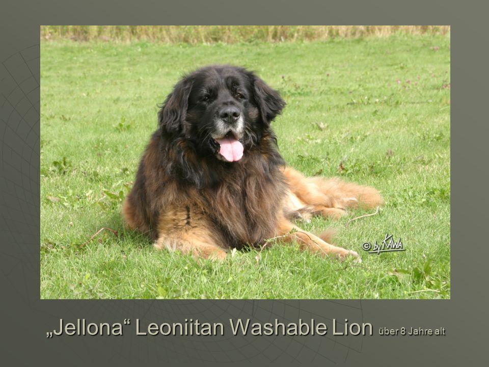 Jellona Leoniitan Washable Lion über 8 Jahre alt