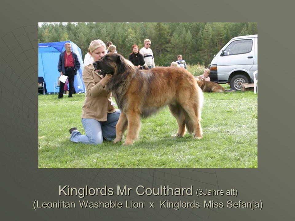Kinglords Mr Coulthard (3Jahre alt) (Leoniitan Washable Lion x Kinglords Miss Sefanja)
