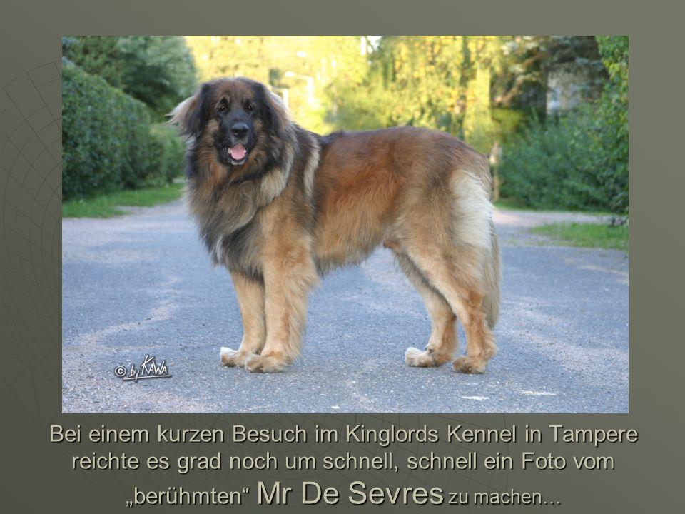 Bei einem kurzen Besuch im Kinglords Kennel in Tampere reichte es grad noch um schnell, schnell ein Foto vom berühmten Mr De Sevres zu machen…