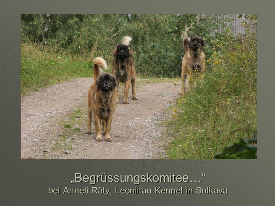 Begrüssungskomitee… bei Anneli Räty, Leoniitan Kennel in Sulkava