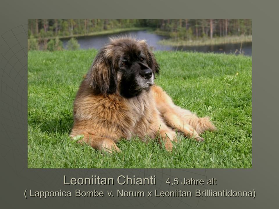 Leoniitan Chianti 4,5 Jahre alt ( Lapponica Bombe v. Norum x Leoniitan Brilliantidonna)