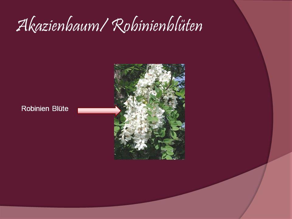 Akazienbaum/ Robinienblüten Robinien Blüte