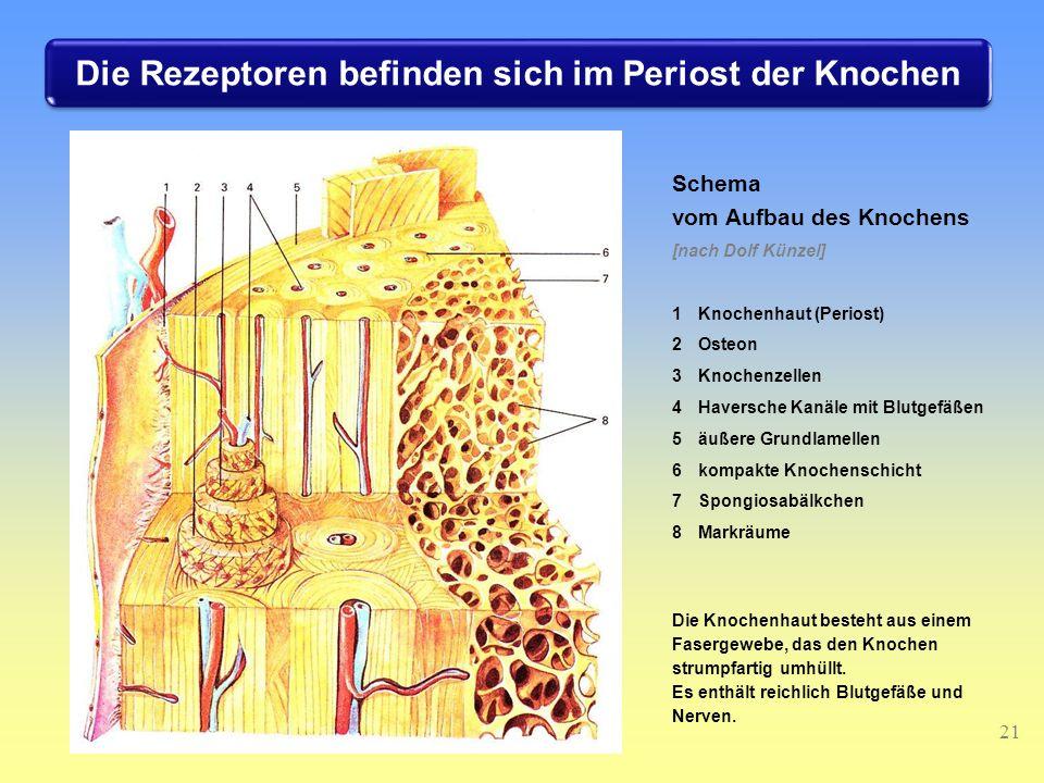 21 Schema vom Aufbau des Knochens [nach Dolf Künzel] 1Knochenhaut (Periost) 2Osteon 3Knochenzellen 4Haversche Kanäle mit Blutgefäßen 5äußere Grundlamellen 6kompakte Knochenschicht 7Spongiosabälkchen 8Markräume Die Knochenhaut besteht aus einem Fasergewebe, das den Knochen strumpfartig umhüllt.
