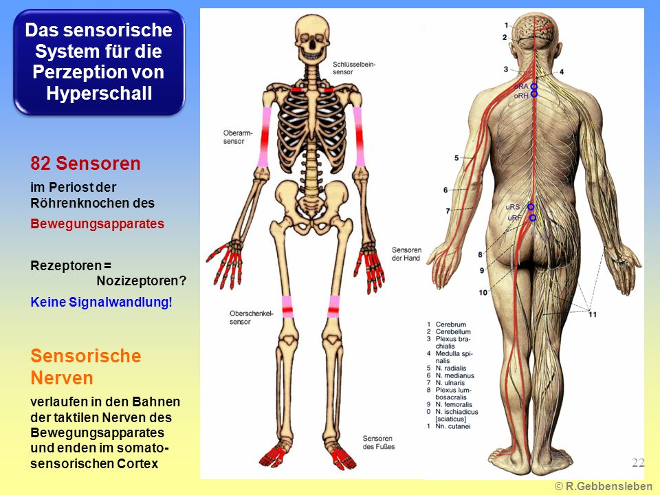82 Sensoren im Periost der Röhrenknochen des Bewegungsapparates Rezeptoren = Nozizeptoren? Keine Signalwandlung! Sensorische Nerven verlaufen in den B